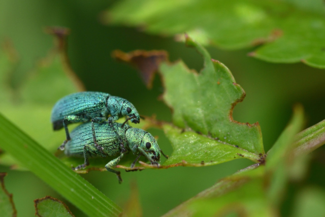 two green bugs in love