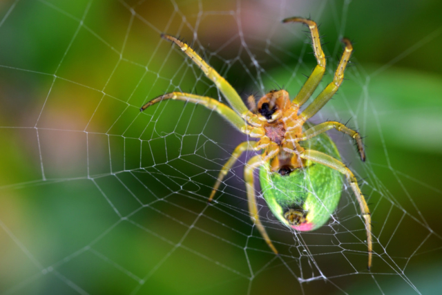 Spider waiting in a net